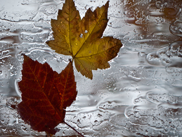 Red and yellow maple leaves on a rainy window