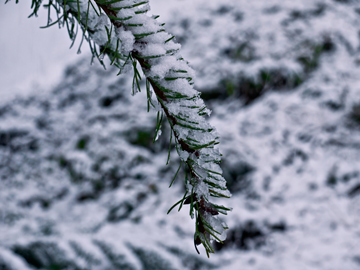 A branch of a pine tree covered in snow in Canada