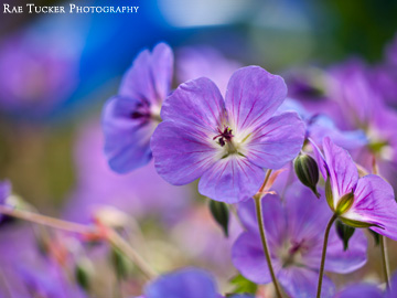 Purple hues of spring flowers