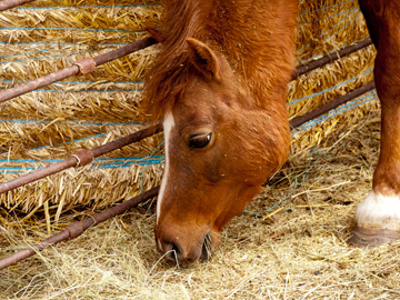 A horse on a farm in Alberta, Canada