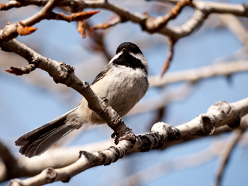 A black-capped chickadee during the early spring in Calgary, Alberta