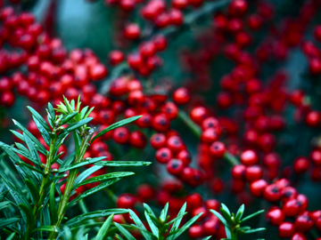 winter pine needles and berries