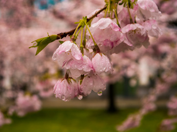 Rain drops drip from cherry blossoms in Vancouver, Canada