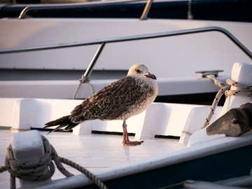 Seagull at sunset perched on a sailting boat