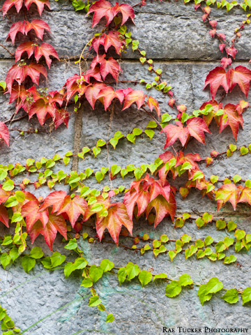 Red and green autumn ivy clings to a stone wall