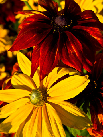 Autumn flowers, red and yellow
