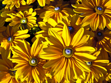 Yellow daisies in Vancouver, British Columbia