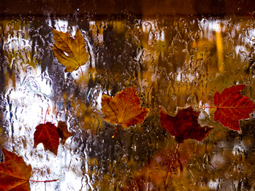 A rainy window covered in autumn maple leaves