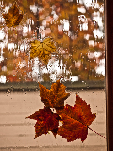 Canadian maple leaves on a rainy window