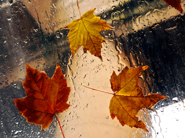 Autumn maple leaves in the rain