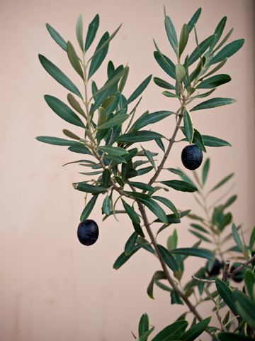 Black olives grow on a tree