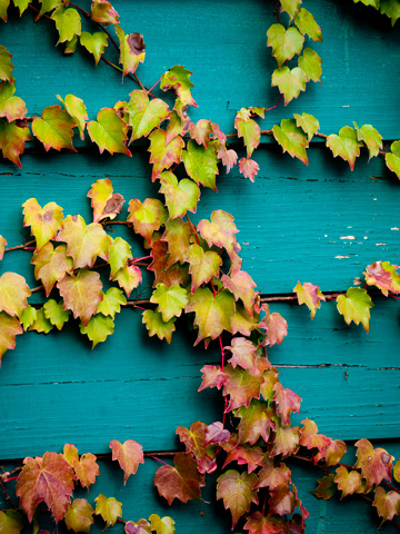 Autumn-tinged ivy on a wooden shed in Tuscany
