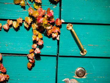 Autumn ivy crawls of a turquoise shed door