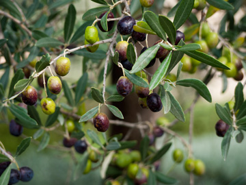 Black olives ripen on a tree in Tuscany, Italy.