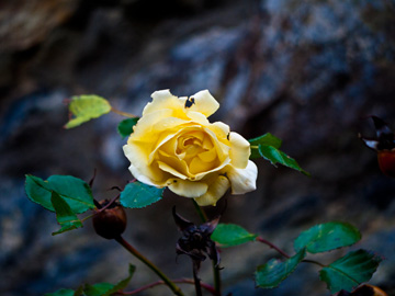 An Irish yellow rose in the winter months.