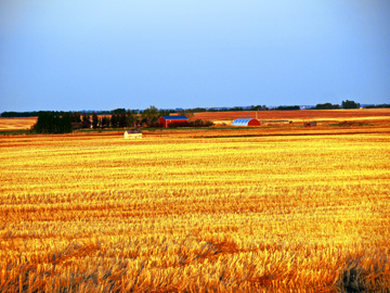 Wheat fields and a farm house in Alberta's prairie land
