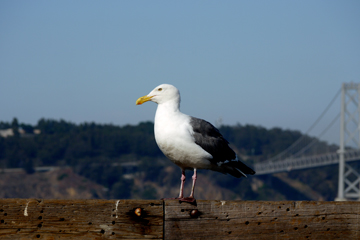 A seagull sits on the ledge of a pier in San Francisco, California