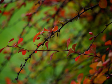 Red leaves and red berries hang from a branch off of this autumn bush