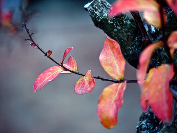 Pink and yellow leaves adorn this branch during the autumn months