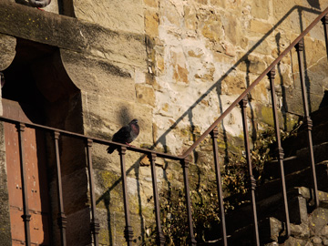 A pigeon perched on a railing in Florence, Italy
