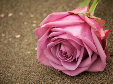 A dusty pink rose laying on a sandy beach