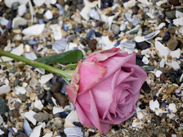 A dusty pink rose laying on a bed of broken seashells