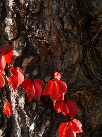 Red autumn vine wrapped around the bark of a tree trunk