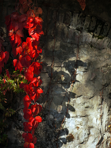 Autumn ivy draped over a rock wall in Tuscany