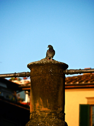 A pigeon is perched overlooking the Pitti Palazzo in Florence, Italy