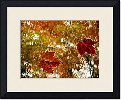 Rainy Maples Leaves Framed Prints