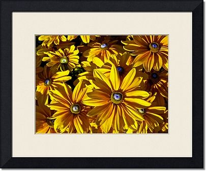 Framed Prints of Yellow Daisies