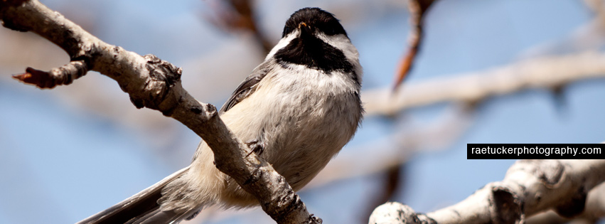 Black Capped Chickadee Facebook Banner