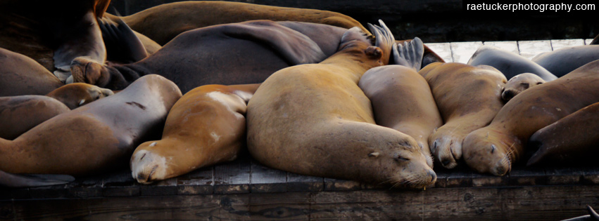 Sealions Free Facebook Banner Download
