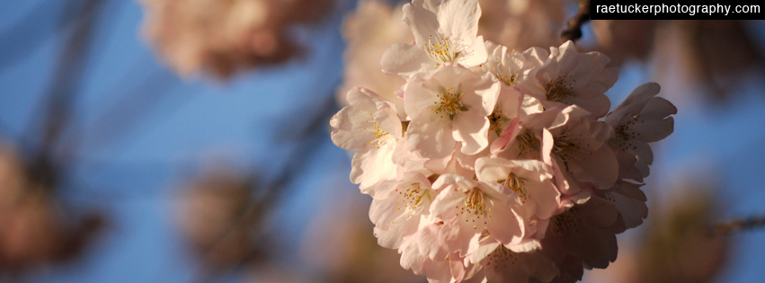 Cherry Blossoms Free Facebook Timeline Banner