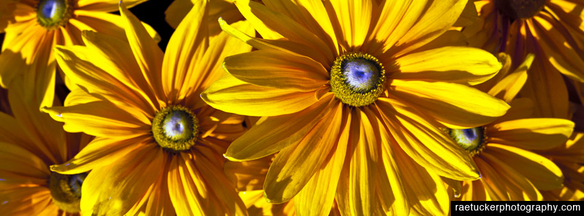 Yellow Daisies Free Facebook Banner
